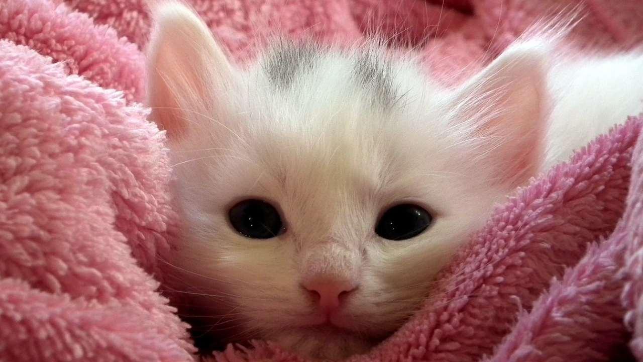 Gattino bianco (Foto Pixabay)