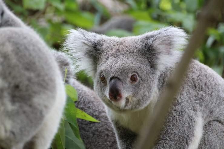 Due koala