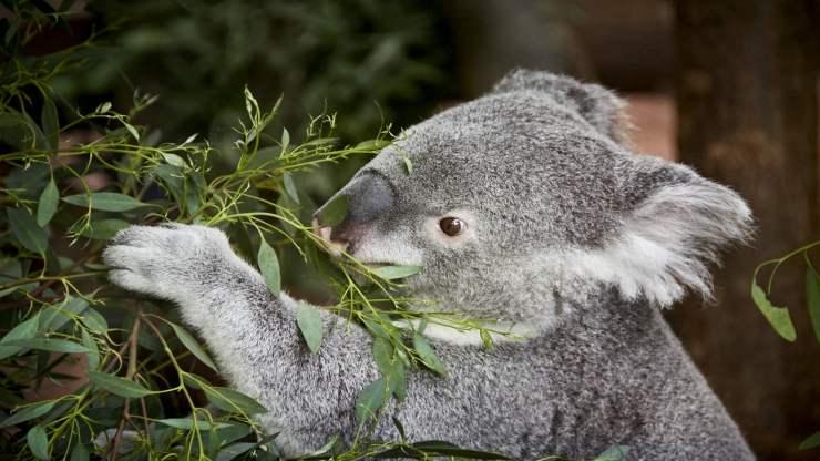 Il koala non beve