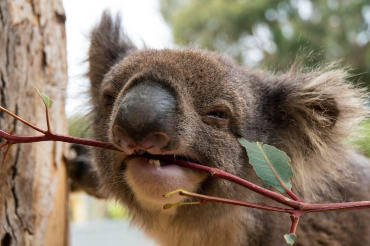 Koala morde ramo