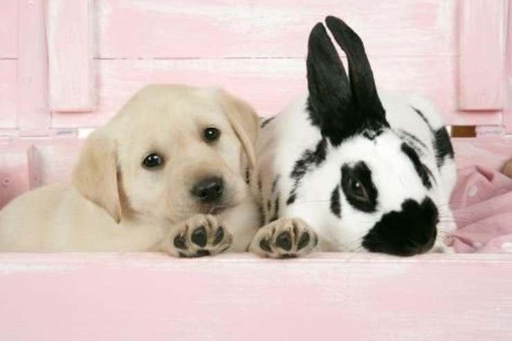 labrador e coniglio
