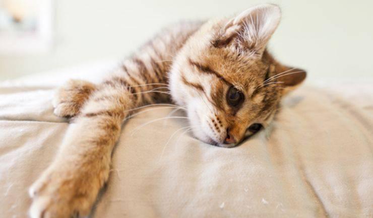 letargia gatto