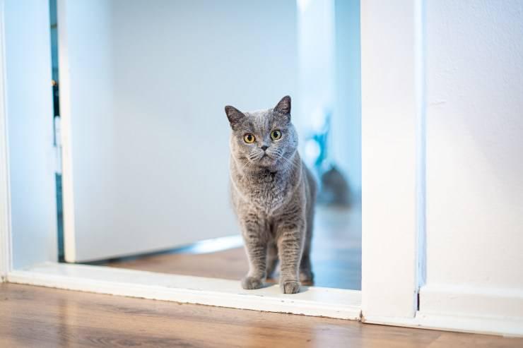 Gatto gratta le porte