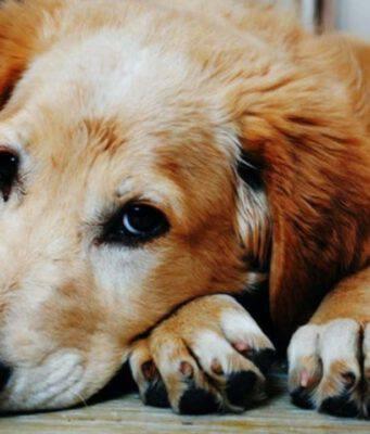 mucormicosi cane