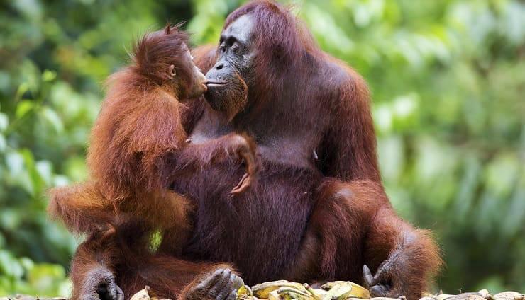 orangotando mamma e cucciolo mamme in natura