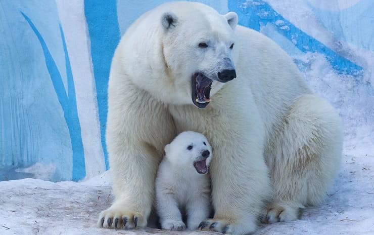 orso polare grande e piccolo mamme in natura