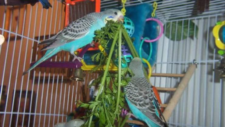 pappagalli mangiano prezzemolo