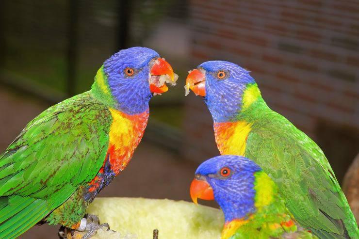 pappagalli cibo