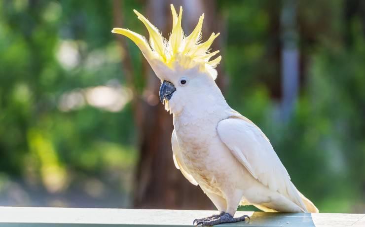pappagallo alza la cresta
