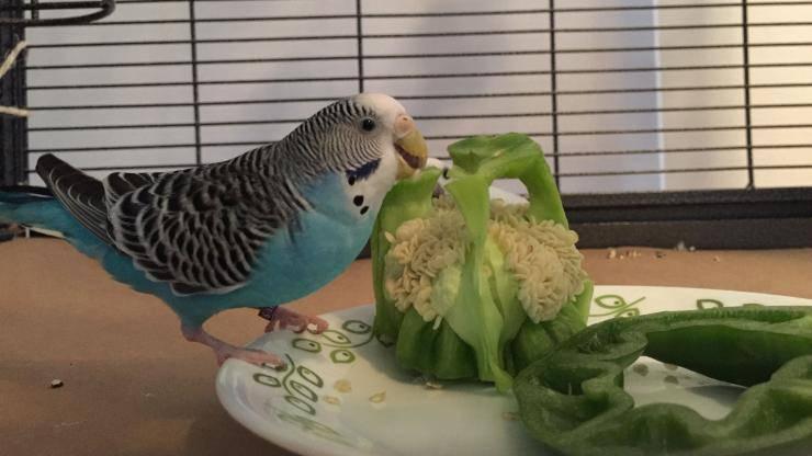 pappagallo mangia peperone