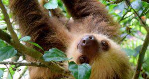 perché bradipo lento