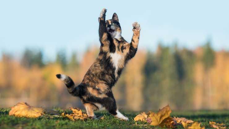 perché gatti saltano lateralmente