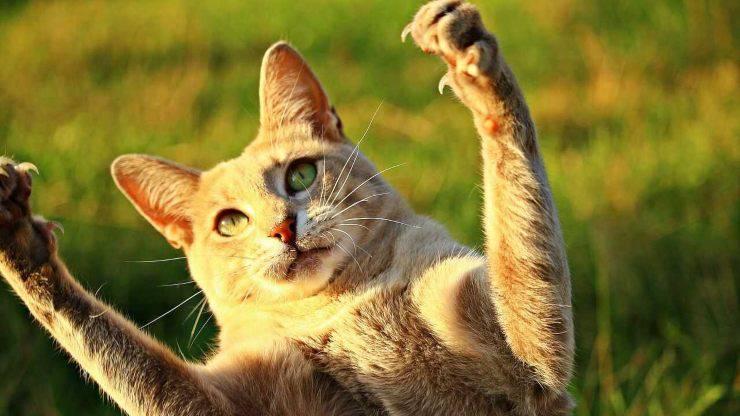 perché gatto artigli retrattili