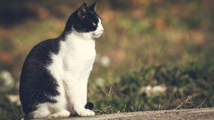 perché i gatti bicolore hanno la pancia bianca