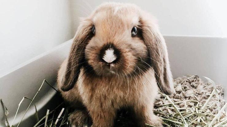 perché il coniglio non mangia fieno