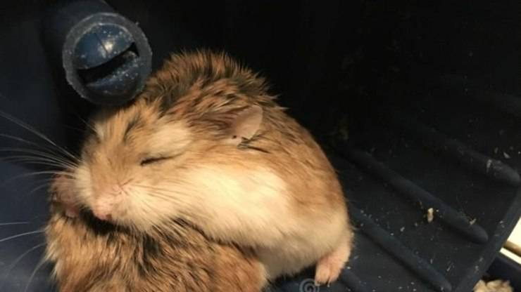 perché il criceto dorme nella sua ruota
