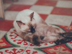 perché il gatto si lecca la pancia