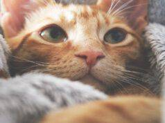 Gatti predisposti a malattie cardiache