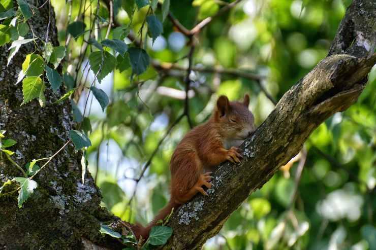 Lo scoiattolo dorme