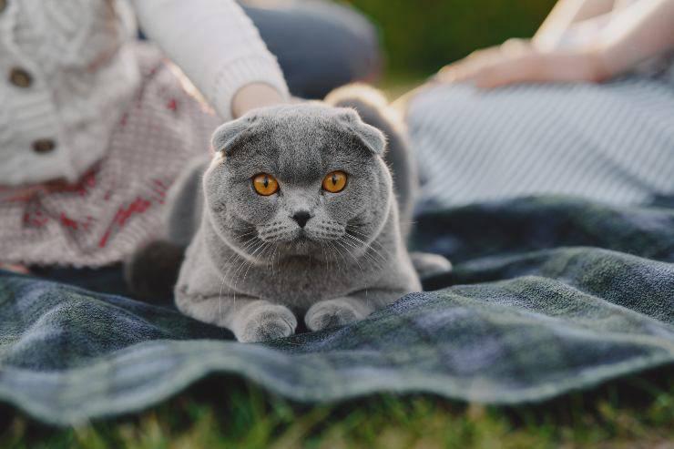 Razze di gatti con la faccia tonda