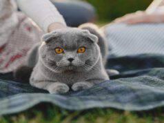 Razze feline con viso tondo
