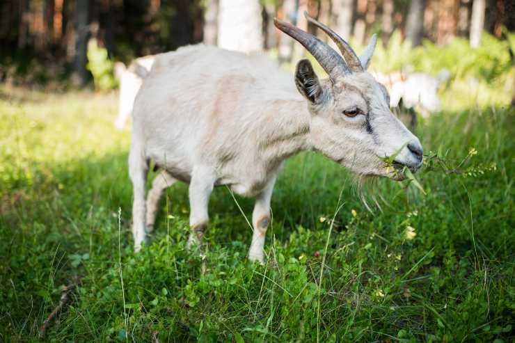 Gli alimenti per la capra