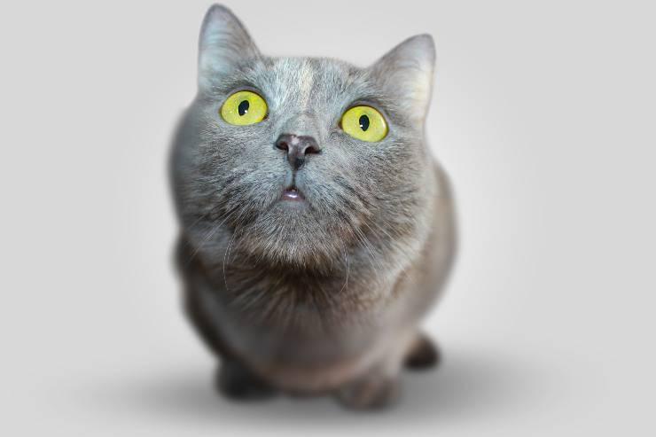 Gatto mangia il buccellato