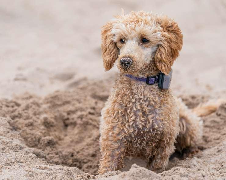 Razze di cani che scavano
