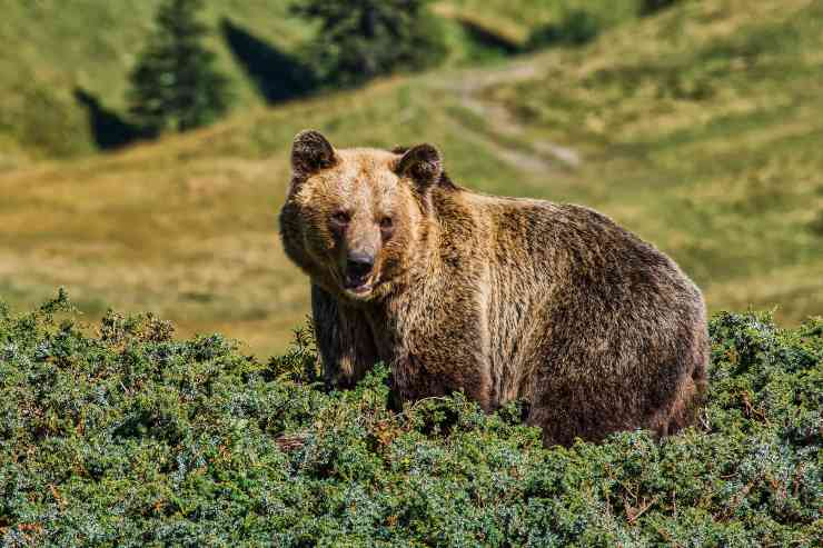 L'alimentazione dell'orso