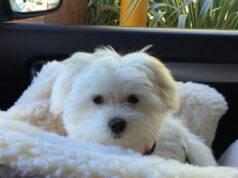 razze di cani che amano viaggiare