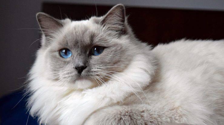 razze di gatti colourpoint