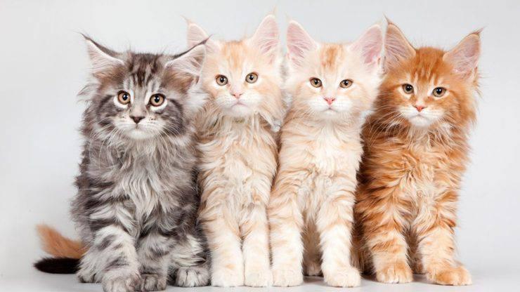 razze di gatti fedeli
