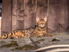 razze gatti che amano stare all aperto