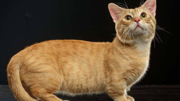 razze gatti più curiosi