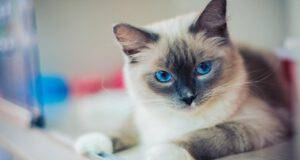 razze gatti facili da pulire