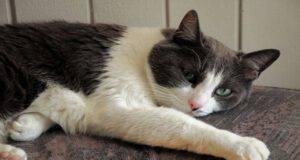 Alimenti per il gatto anemico