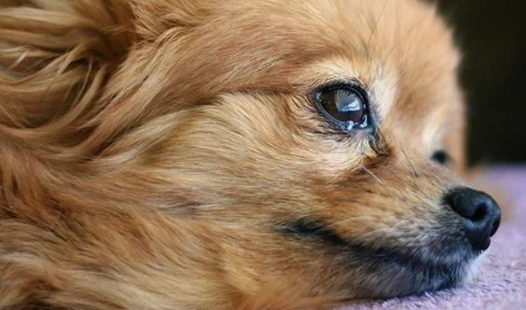 sintomi del cane affetto da infezione