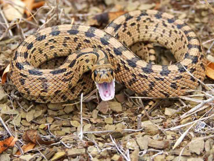 I serpenti sbadigliano
