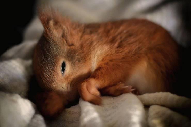 Dove dorme lo scoiattolo