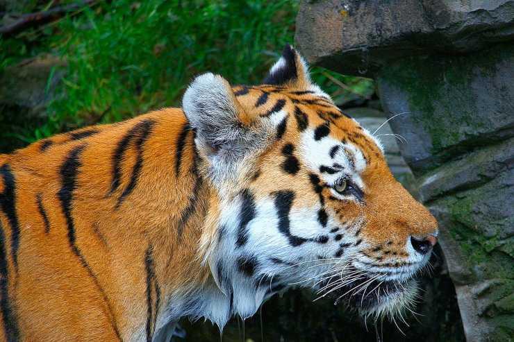 tigre arancione