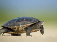 Cosa fare se si trova una tartaruga?