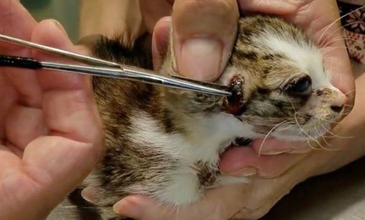 veterinario rimuove cisti a micio