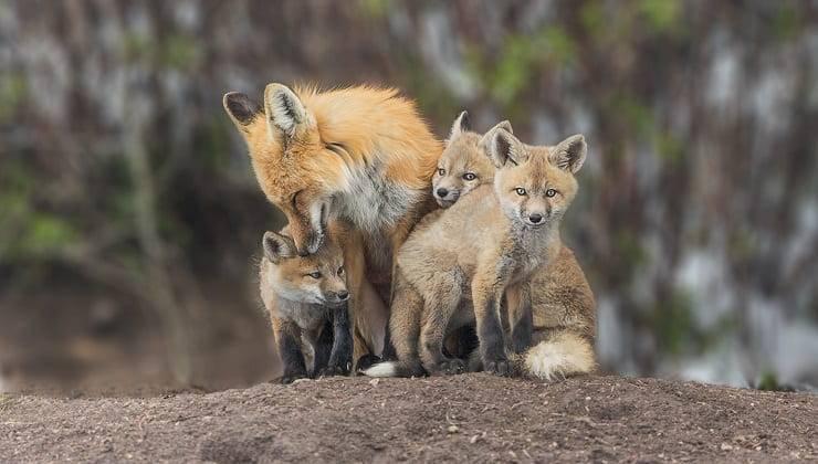 volpe rossa con cuccioli mamme in natura
