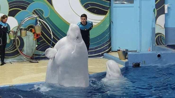 Beluga nella vasca (Foto Facebook)