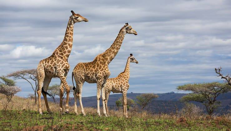 famiglia di giraffe