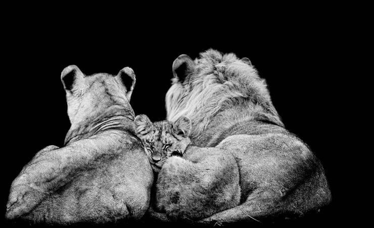 madre padre cucciolo leone