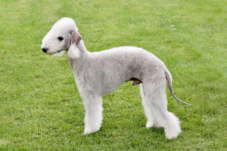 Cura del pelo del Bedlington Terrier