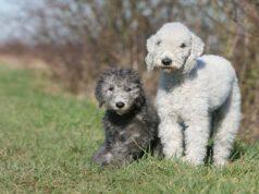 Razze compatibili col Bedlington Terrier