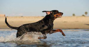 Alimentazione del Black and Tan Coonhound