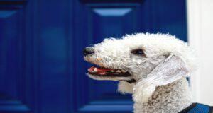 Malattie più comuni del Bedlington Terrier